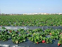 A large strawberry field with plastic covering the earth around the strawberry plants.