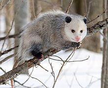Opossum 2.jpg