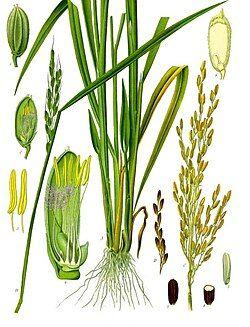 Oryza sativa - Köhler–s Medizinal-Pflanzen-232.jpg
