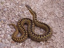 An adult female adder found basking in the sun by Loch Shin, Sutherland in Scotland. She preferred to pose for a photograph rather than slither away.