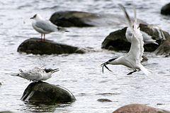 Sterna sandvicensis Brandseeschwalbe.jpg