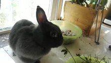 File:Pet rabbit eating grass.webm