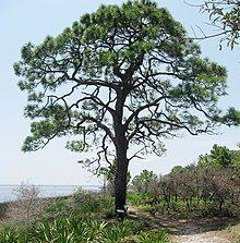 Pinus elliottii(1).jpg