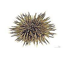 Echinometra mathaei MHNT Philippines.jpg