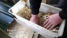 File:100 water voles released in the Vale of Glamorgan, Cymru (Wales).webm