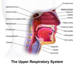 Blausen 0872 UpperRespiratorySystem.png
