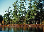 凯瑟琳湖湖畔的松林