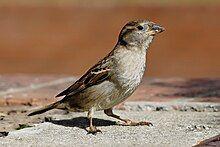 一只胸腹部为白色,翅膀和头有纹路的小鸟,站在水泥上