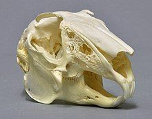 Skull of a hare