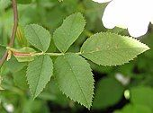 Leafstem of dog rose with petiole, stipules and leaflets