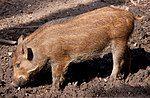 Young Wild Boar (5696463735).jpg