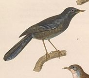 Sylvia sarda 1838.jpg