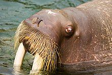 """Photo of walrus head in profile showing one eye, nose, tusks, and """"mustache"""""""