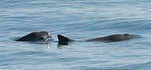 Vaquita6 Olson NOAA.jpg