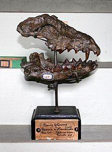 Skull of Canis etruscus