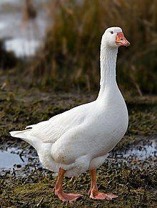 Domestic Goose.jpg