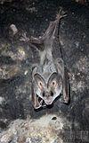 Greater False Vampire Bat (Megaderma lyra).jpg
