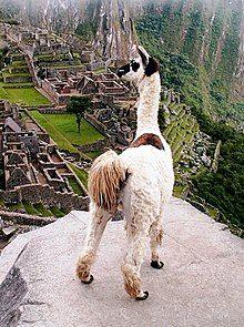 Llama, peru, machu picchu.jpg