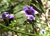 Viola banksii
