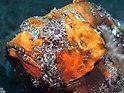 毒拟鲉 Scorpaenopsis diabolus