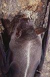 Captive Noctilio leporinus.jpg