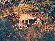 Photograph of wolf pups stimulating their mother to regurgitate some food