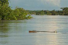 Irrawaddy Dolphin.jpg