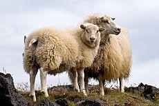 Pair of Icelandic Sheep.jpg