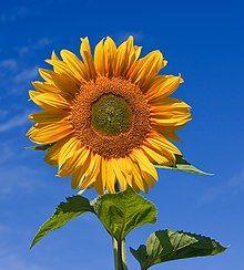 Sunflower sky backdrop.jpg