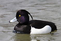 Aythya-fuligula Tufted-Duck.jpg
