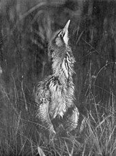monochrome photograph of a resting bittern, partially hidden by reeds or grass, with its neck elongated, its beak pointed almost vertically upwards and its feathers fluffed up