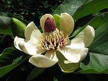 Magnolia obovata 10.JPG