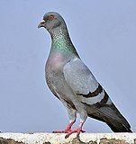 Blue Rock Pigeon (Columba livia) in Kolkata I IMG 9762.jpg