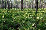 松林与下层的锯棕榈