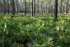 Pinus palustris forest, Osceola National Forest.jpg