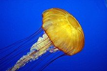 "Pacific sea nettle (""Chrysaora fuscescens"")"