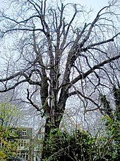 A large tree, devoid of foliage