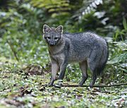 Gray canine in jungle