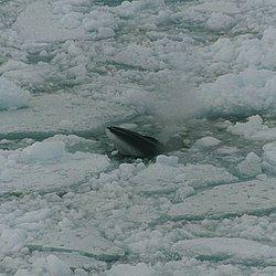 Minke whale in ross sea.jpg