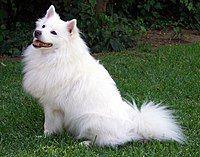 American Eskimo Dog.jpg