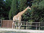 Giraffa camelopardalis antiquorum (Vincennes Zoo) 2.jpg