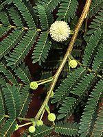 White leadtree