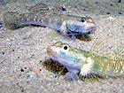 Two freshwater gobies, Rhinogobius duospilus