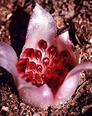 The Western Underground Orchid lives completely underground. It is unable to photosynthesize, and it is dependent on underground insects such as termites for pollination. The flower head shown is only about 1.5 centimetres across. Dozens of tiny rose-coloured florets are arranged in a tight cluster, surrounded by petals that give the flower the appearance of a pale miniature tulip.