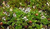 Flowers of Viola tridentata