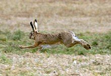 Photograph of a running hare