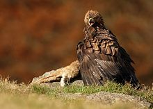 Photograph of a golden eagle with a hare as its prey