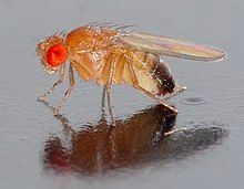 """The common fruit fly, """"Drosophila melanogaster"""", has been used extensively for research."""