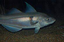 Haddock, Boston Aquarium.JPG
