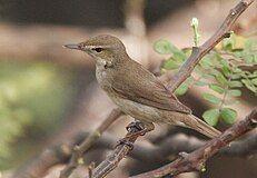Syke's Warbler (Hippolais rama) on Vilaiti Siris (Samanea saman) in Kolkata W IMG 4659.jpg